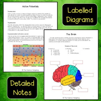 Nervous and Endocrine System Interactive Notebook Bundle