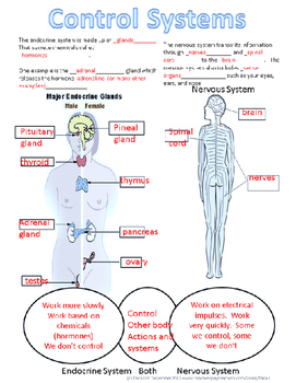 Nervous and endocrine systems organizer by science in the city tpt nervous and endocrine systems organizer ccuart Image collections