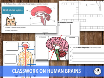 Human Brain and its structure (Notes & Classwork)