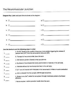 Neuromuscular Junction Coloring Worksheet