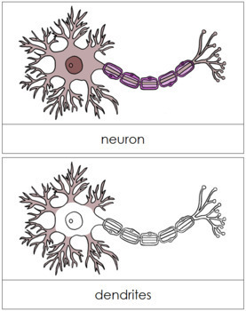 Neuron Nomenclature Cards