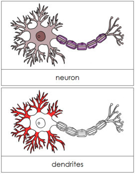 Neuron Nomenclature Cards (Red)