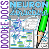 Neuron Structure Graphic Organizer for Interactive Notebooks and More