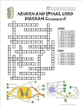 Neuron and Spinal Cord Crossword with Diagram {Editable}