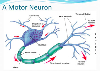 Neurons teaching resources teachers pay teachers neurons neurons ccuart Choice Image