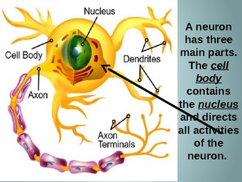 Neurons of the Nervous System Powerpoint