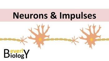 Neurons & the Nervous System PowerPoint (free handout included)