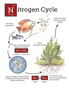 Nitrogen Cycle in the aquarium