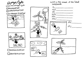 Nitrogen cycle coloring sheet and labeling