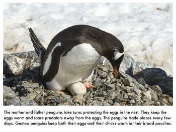 Nonfiction Picture Book: Gentoo Penguins