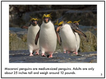 Nonfiction Picture Book: Macaroni Penguins