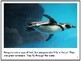 Nonfiction Picture Book: Rockhopper Penguins