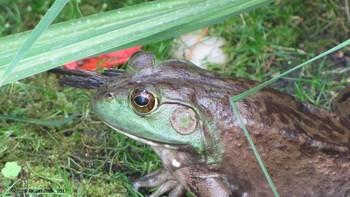 Northern Green Frog Eating Bird