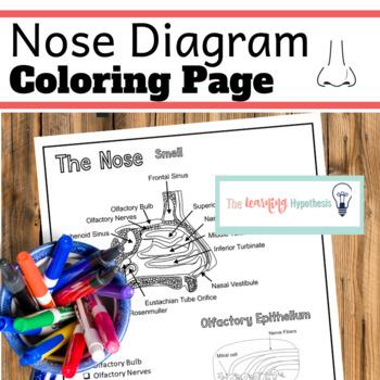 Nose Diagram.  Nervous System Coloring Pages.