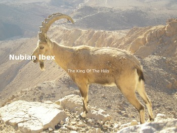 Nubian Ibex - endangered - Power Point - Information Pictures Facts