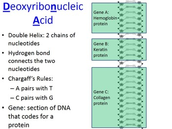 Nucleic Acid (DNA & RNA) PowerPoint