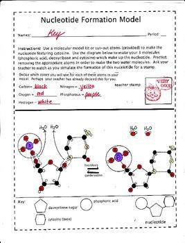 DNA Nucleotide Formation Model