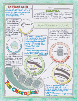 Nucleus, Chloroplast, and Mitochondrion Biology Doodle Diagrams