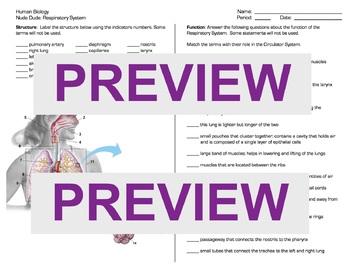 Human Body: Respiratory System