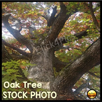 $1 Stock Photo FALL OAK TREE
