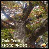 $1 Stock Photo FALL OAK TREE