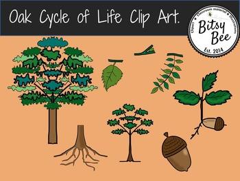 Oak Tree Cycle of Life.  Clip Art