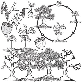 Oak Tree Life Cycle Clip Art Set By The Painted Crow