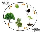 Oak Tree and Acorn Life Cycle