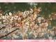 "Ohanami ""Cherry Blossom Viewing"""