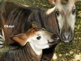 Okapi - Power Point - Rare Facts Information Pictures Endangered