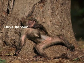 Olive Baboon - Power Point - Information Facts Pictures