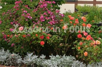 Orange Roses with Purple Flowers Photo