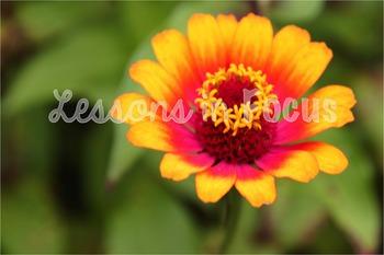 Orange and Pink Zinnia Flower Photo