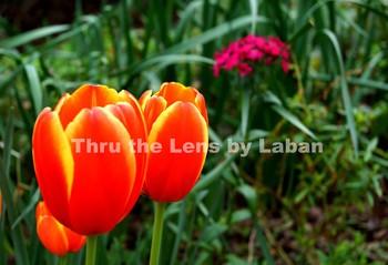 Orange and Yellow Tulips Stock Photo #127