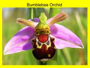 Orchid Photos