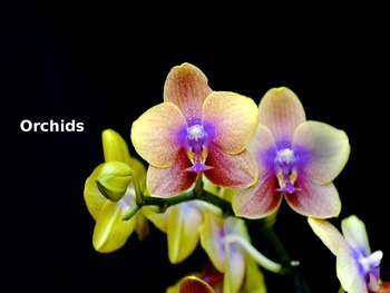 Orchids - Power Point  - Flowers Pictures Facts Information