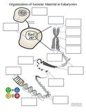 Organization of Genetic Material Interactive Diagram