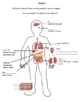 Organs lesson. Powerpoint, activity and differentiated worksheet