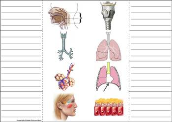 Organs of the Respiratory System Activity: Human Body Systems Project
