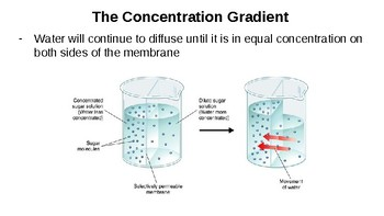 Osmosis: The Diffusion of Water