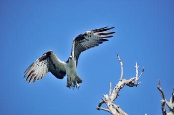 Osprey Taking Off From Dead Tree