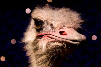 Ostrich Digital Puzzle VIPKID