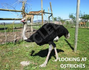 Ostrich - Interactive PowerPoint presentation