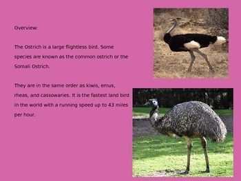 Ostrich - Power Point - Information Facts Pictures