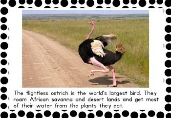 Ostrich Teaching Posters/Flash Cards