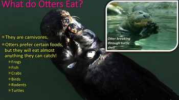 Otters - PowerPoint & Activities