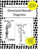 Oversized Muscle Identification Diagrams!- Great for Practice &Differentiation!