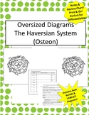 Oversized Osteon/Haversian Syst Diagram- Includes Notes &