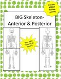Oversized Skeleton Diagram 8.5 in x 22in!- Anterior & Posterior! Bonus Activity!