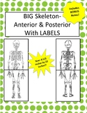 Oversized Skeleton Diagram W/LABELS-8.5 in x 22in (Ant & Pos) Incl Notes!
